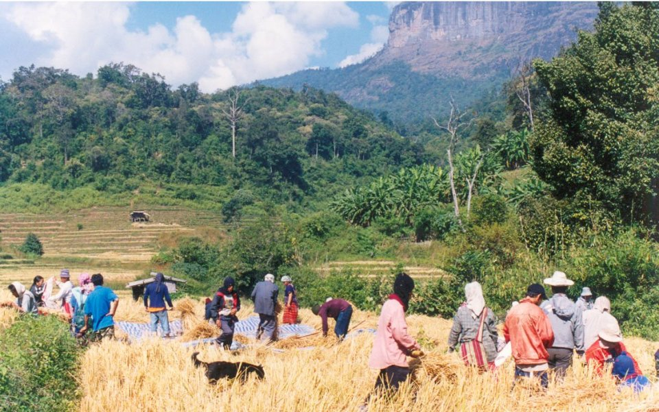 Indigenous Karen community harvests rice in the highlands of Thailand