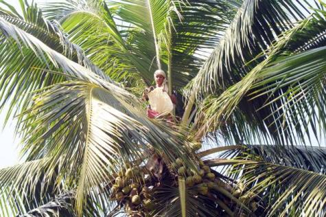 Woman sitting at the top of a coconut tree with bag of receptive flower