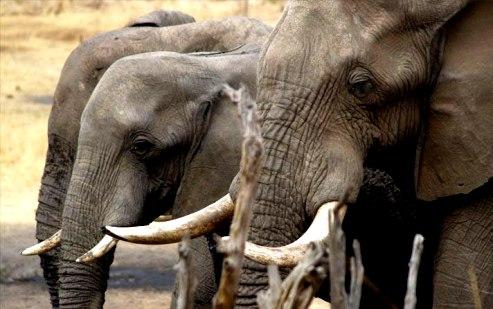 Afrcan elephants standing together