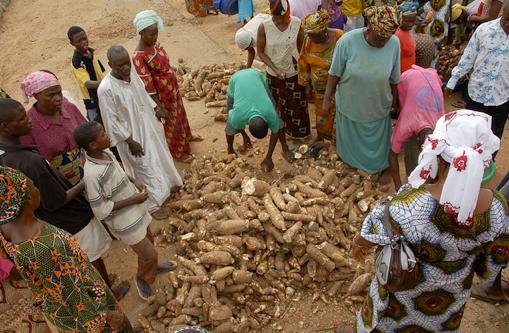Cassava crop