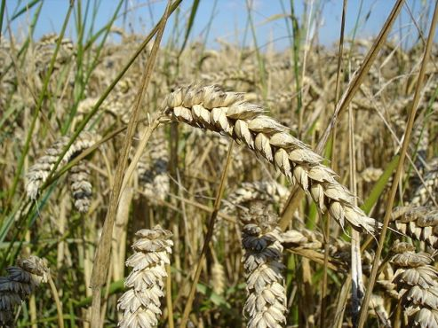 U.S. wheat crop 'up-close'