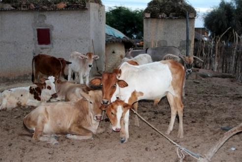 Kaédi village farm