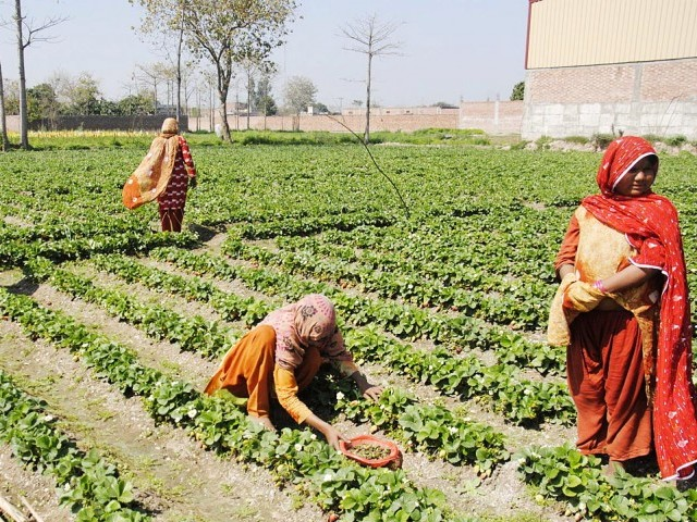 agriculture problems in pakistan Pakistan's high potential for producing food is an internationally established fact however, agriculture sector in pakistan is facing significant challenges.