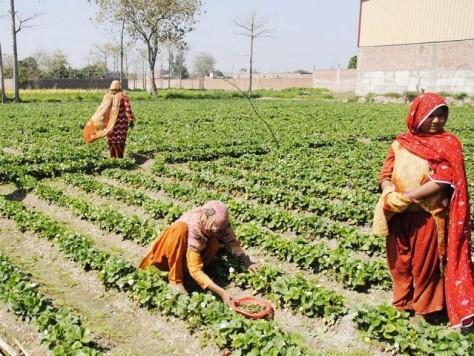 Women farmers working in the field.