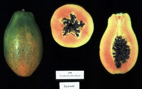 A USDA image of the HCAR 311 Carica papaya 'Sunset' from Hawaii