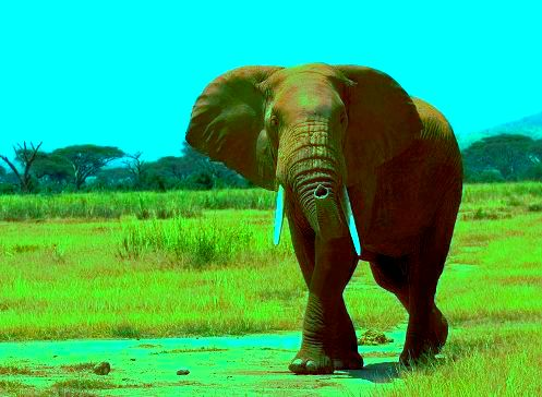 An elephant from the Amboseli National Park looks at the camera. Image: Wikipedia