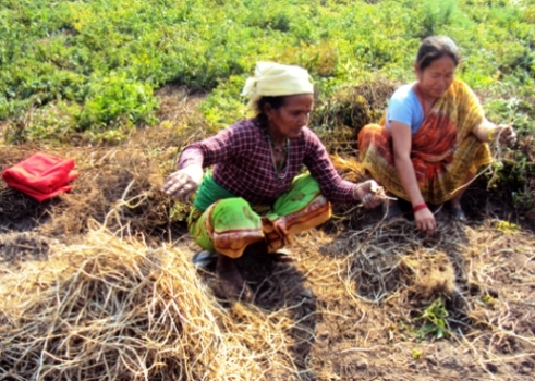 Nepalese women citronella grass farmers