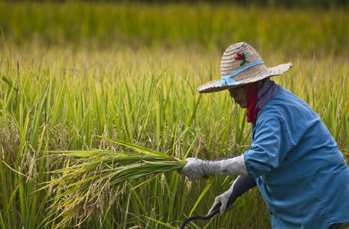 Thai farmers harvest rice near Ta Pra Mok, Thailand. Rice is the staple food for more than half the world's population, including 640 million undernourished people living in Asia. Image:  David Longstreath/IRIN
