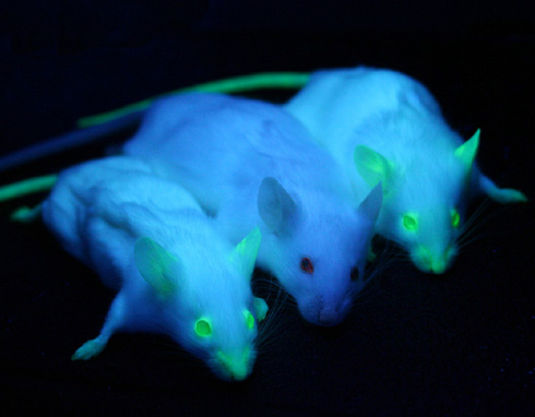 Three mice, two of them are glowing,