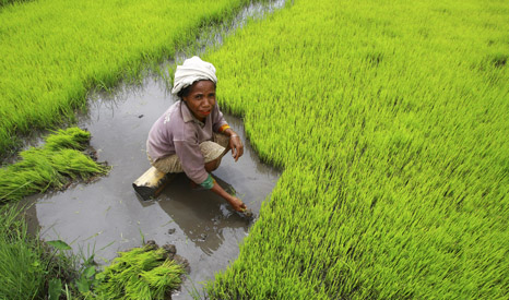 woman farmer harvests rice